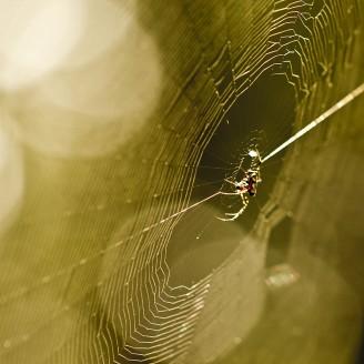 Gold Web
