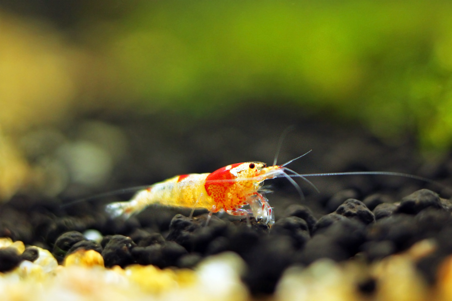 Crystal Red Shrimp (CRS) - Do's and Dont's